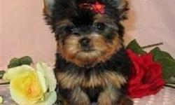 Extremely Cute Rare Yorkie Puppies