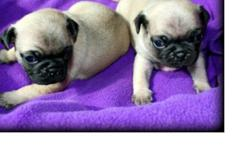 . . .!Extremely Good Bloodlines Pug puppies Available