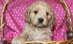 F1 Buff/Apricot Cockapoo Puppies, Low/Nonshedding