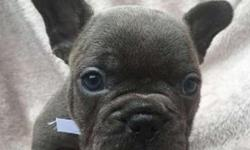 F1 French Bulldog Puppies WWW.MICROBLUEFRENCH. COM