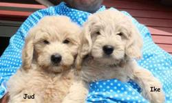 F1 Mini Goldendoodle Puppies Ready Now