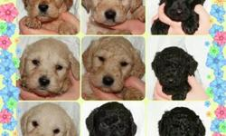 f2b labradoodle puppies