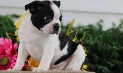 Fabulous M/F Boston Terrier Puppies For Sale