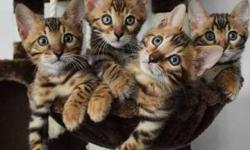 Fascinating Male/Female Bengal kittens For Sale