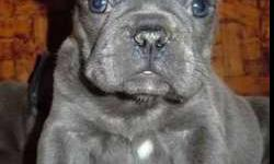 Fascinating Micro Blue French Bulldog Puppies