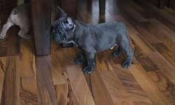 Fawn Good M/F 4 Litter Blue French Bulldog Puppies