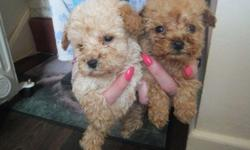 fdh Adorable Poodles now Ready