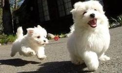 Female AKC Maltese Puppy for Sale
