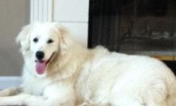 Female Great Pyrenees