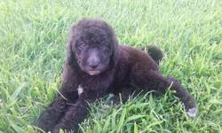 Female Labradoodle
