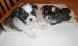 Female Shih-tzu puppies
