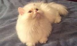 Female Spayed Persian Kitty