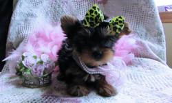 Female Top Quality Teacup Yorkie/pure breed