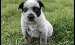 ff dd Australian Cattle Dog Puppies for Sale