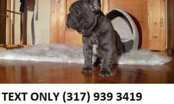 ffhfdgdf Blue French Bulldog Puppies For Sale