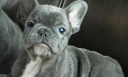 ffsdfsfdsf Quality Pure Bred French Bulldog Puppies