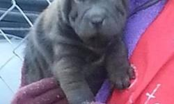 Fg Remarkable Chinese Shar-Pei Puppies