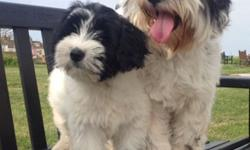 fg Tibetan Terrier puppies for sale