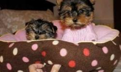 fgchgfcg Amazing Mlae and Female Yorkie Puppies Available