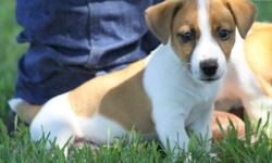 fgd Minature Jack Russell puppies ready now