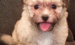 fgfdgff Havanese Puppies for Sale