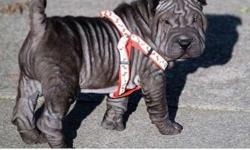 fghdfgh Chinese Shar-Pei Puppies For Sale