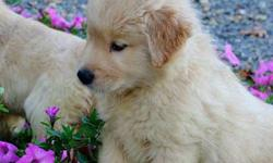 fghdfh Golden Retriever Puppies For Sale