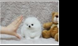 fgrds amazing Pomeranian puppies