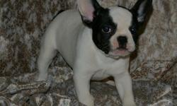 fhfhfh Very nice litter Frenchies puppies ready for sale