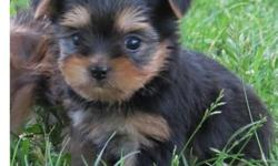 fhgfhgjf ghjj Full breed yorkie pups available