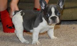fhxr french bulldog Pups Ready Now