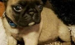 .fijffj Star pug puppy is ready for her new home. contact