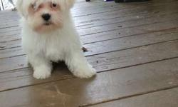 Five Marvelous M/F Maltese Puppies For Sale