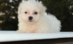 Five Superlative Maltese Puppies For Sale