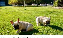 Flexible French bulldog puppy for sale