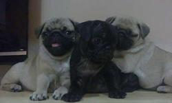 Four adorable pug puppies for sale