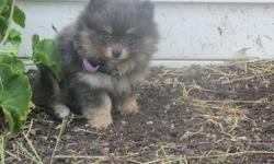 Four Well Tamed M/F Pomeranian Puppies For Sale