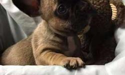 French Bulldog AKC Fawn Male