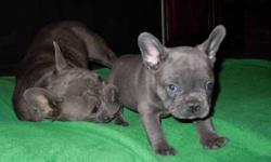French Bulldog Puppies -Blue Smap Liiter