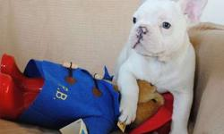 French Bulldog Puppies -Obliiging Trained Litter
