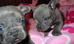 French Bulldog Puppies -Correct Trained Litter