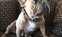 French Bulldog Stud