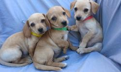 frtgg Dachshund Puppies for Sale