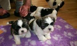Gallant Male and Female Shih Tzus Puppies For Sale