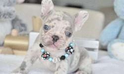 Gentle Girls and Boys French Bulldog Puppies