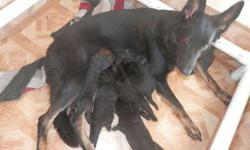 **German Shepherd Puppies AKC** -