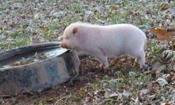 Get a MICRO pig for Christmas