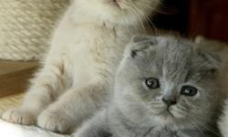gfhg gfee5 Scottish Fold Kittens available