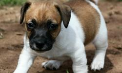 gfhjghg Jack Russell Terrier Puppies for Sale