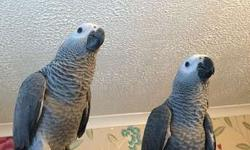 GHFFHI Healthy congo african gray parrot for sale